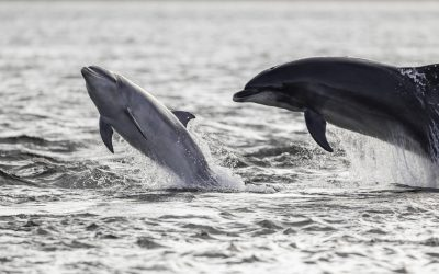 Adult and juvenile  dolphins  taking a break from hunting for salmon to have a playful time breaching