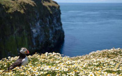 British Puffin Seabird (Fratercula arctica) from Skomer Island Wildlife Reserve, Pembrokeshire, Wales UK